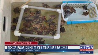 Dozens of baby sea turtles wash ashore at Jacksonville area beaches