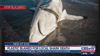 Dead shark washes ashore in St. Johns County with old hat wrapped around neck