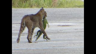 Photo: Florida bobcat has huge green iguana in mouth