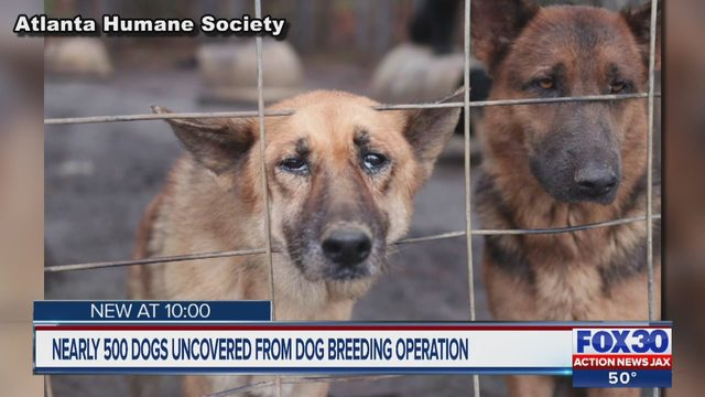 DOG RESCUE GEORGIA: German shepherds, victims of Georgia puppy mill