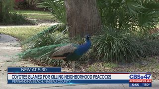 Coyote kills peacock in Fernandina Beach