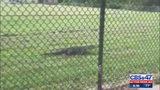 Nuisance alligators making their way into local  neighborhoods