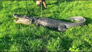 PHOTOS: FWC relocates 11-foot alligator walking down Ocala road