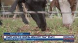 Goats mow the lawn in areas city can't reach