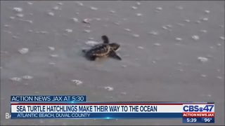 Thousands petition Jacksonville Beach City for safer sea turtle conditions