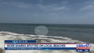 UNF biologist: Numerous reasons for more local shark sightings