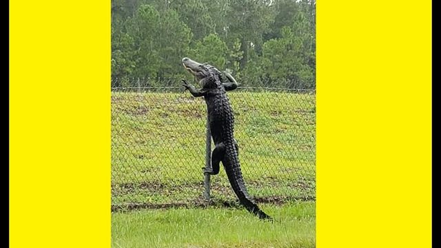 Alligator climbs fence at Naval Air Station