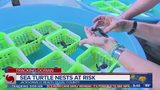 Sea turtle nests at risk